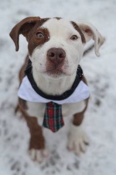 SAFE - 02/24/15 by PMAR --- Brooklyn Center  HUTCH - A1028282  MALE, BROWN / WHITE, PIT  BULL MIX, 4 mos STRAY - EVALUATE, NO HOLD Reason ABANDON  Intake condition EXAM REQ Intake Date 02/19/2015 https://www.facebook.com/photo.php?fbid=965803403432539