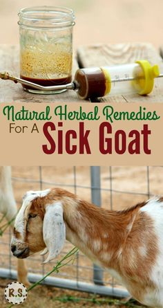 Remedies For A Sick Goat Learn how to treat a sick goat with this natural remedy. It is easy to make at home. When your goat is sick, try this DIY herbal recipe for natural goat care.Easy street Easy Street may refer to: Raising Farm Animals, Raising Goats, Backyard Farming, Chickens Backyard, Herbal Remedies, Natural Remedies, Cold Remedies, Health Remedies, Cabras Boer