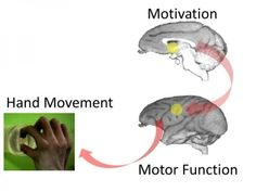 Motivation promotes recovery after spinal cord injury: Neuroscientific evidence -- ScienceDaily