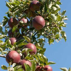 Arkansas Black Spur Apple Tree (Semi-dwarf) - FT015
