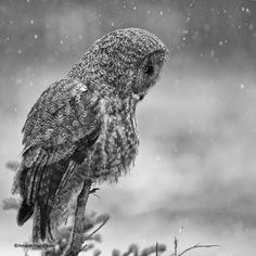 Great Grey Owl by Amar Athwal on Owl Calls, Spiritual Animal, Great Grey Owl, Gray Owl, Beautiful Birds, Wonders Of The World, In This Moment, Banff, Bohemian
