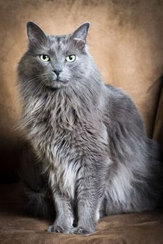 Russian Blue Cats Long Hair Thanks! Blue Cats, Grey Cats, Nebelung Cat, Homeless Dogs, Photo Chat, Siberian Cat, Russian Blue, Fluffy Cat, Crazy Cat Lady