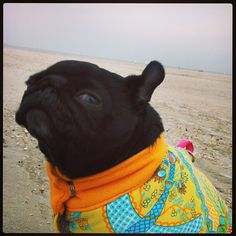 One ear up! #pugs #cute #missflo