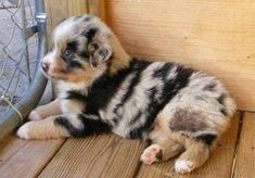 Australian Shepard. My favorite breed. by jacklyn