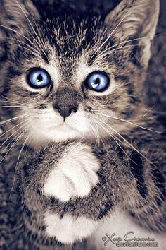 Amazing kitten with blue eyes.
