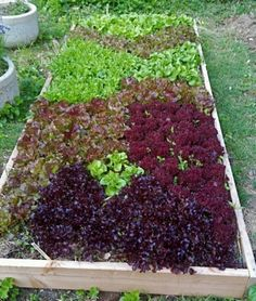 Good guide to planting lettuce
