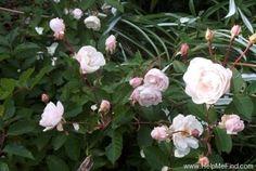 """Marie Pavie"" polyantha. Alphonse Alegatiere (France, 1888). Darling little rose and smells great!"