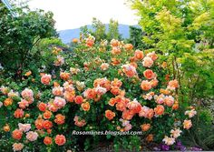 """A Rose is a Rose...: """"Come into the Garden, My Roses Would Like to Meet You"""" - Ginger Syllabub"""