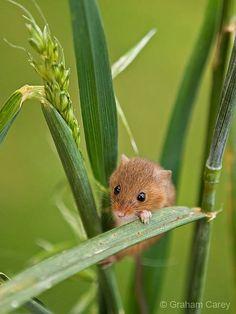 Harvest Mouse <3