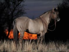 """His name is """"Kansas City Twister""""...he's a 1995 Grulla AQHA Stallion...standing 15.1 hands high and colored Homozygous Black"""