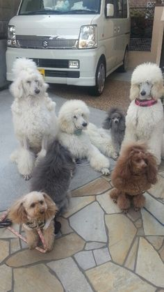 With my friends! We are Standard & Toy poodles. Yah !! I'm HAPPY