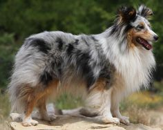 The Shetland Sheepdog, often known as the Sheltie, is a breed of herding dog. Less favored nicknames are the Toy Collie and the Miniature Collie. They are small dogs, and come in a variety of colors, such as sable, tri-color, and blue merle.