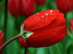 red tulip after a rain shower Wallpaper