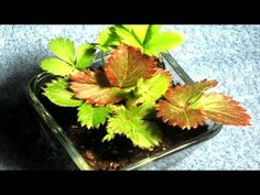 Strawberry Plant in TimeLapse - YouTube