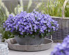 Campanula Spring Bell® Blue