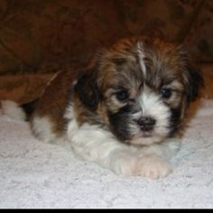 The dog I will be getting on 3/10/12! I'm so excited