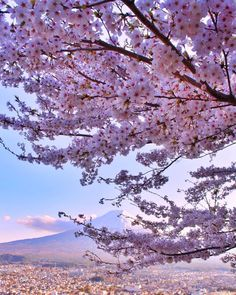 fuji 桜 富 士 山 日 本 cherry blossom. Japanese Flowers, Japanese Cherry Blossoms, Cherry Blossom Japan, Japan Sakura, Tokyo Japan, Spring Scenery, Cherry Blossom Season, Earth Photos, Pineapple Images