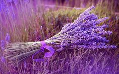 Purple lavender, standing tall and proud, is a beautiful Mediterranean plant. Used for centuries for medicinal and beauty purposes, and with a myriad of applications in the kitchen and home, lavender should be in every natural living enthusiast's garden. Lavender Plant Care, Growing Lavender, Lavender Bouquet, Lavender Flowers, Purple Flowers, Planting Lavender, Lavender Plants, French Lavender, Rain Flowers