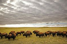 Bison Grazing Saskatchewan Canada Canvas Art - Greg Huszar Photography Design Pics x Riding Mountain National Park, Canadian Prairies, Saskatchewan Canada, Canada Eh, Western Canada, Largest Countries, Wildlife Art, Bison, Canada Travel