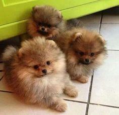 Cute pomeranians