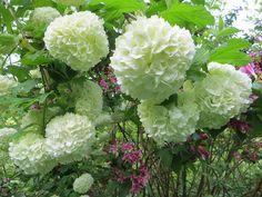 Viburnum opulus: Φυλλοβόλο φυτό που φτάνει σε ύψος τα 3 m. Άνθη σφαιρικά, σαν μπάλες λευκές που εμφανίζονται το Μάιο. Πολύ ανθεκτικό. Φυτεύεται μεμονωμένο ή σε συνθέσεις Καλλωπιστικοί θάμνοι - Φυταγορά Σερρών