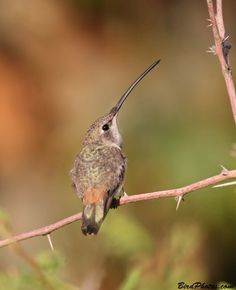 Oasis Hummingbird (Rhodopis vesper) is a species of hummingbird in the Trochilidae family. It is found in coastal regions of Peru.