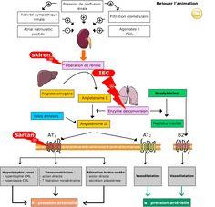 Fiche pratique - Médicaments ciblant le système rénine angiotensine - 2. Mode d'action - Propriétés pharmacologiques Biochemistry, Speech Therapy, Good To Know, Anatomy, Education, Ipa, Action, Culture, Science