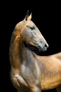 bay akhal-teke horse stallion portrait isolated on black Stock Photo