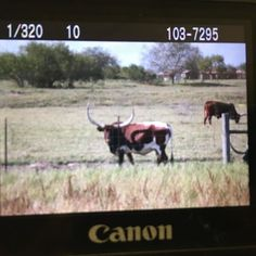 Busted out my good camera for these longhorns. Can't wait to see how they turned out! #Texas