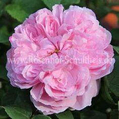 Jacques Cartier - Kraeftigrosa - Rosa_damascena - Historische_Rosen - Rosen - Rosen von Schultheis