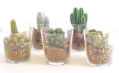 cactus en macetas - Buscar con Google