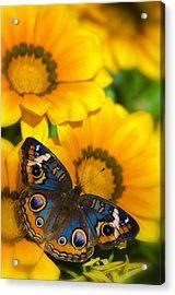 Buckeye Butterfly In All It's Beauty  Acrylic Print by Saija  Lehtonen