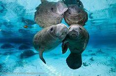 Los #Manatíes son los simpáticos animales que Cristobla Colón confundió con #Sirenas en #Bocasdeltoro #Panama