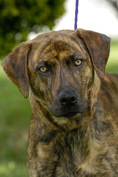 ***RIP little Angel ❤️❤️❤️❤️❤️❤️❤️❤️❤️❤️❤️❤️❤️❤️❤️❤️❤️❤️❤️❤️❤️❤️❤️❤️❤️❤️❤️lTO BE DESTROYED10/16/14*** ETHAN, PLOTTHOUND MIX,MALE. CLICK PHOTO FOR MORE DETAILS.