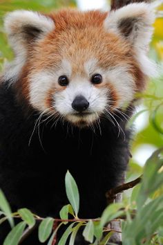 Red Panda Innocence by Josef Gelernter