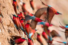 Carmine bee-eaters live in a colony and are highly sociable creatures. Photographed by Will Burrard-Lucas in South Luangwa National Park, Zambia. These migratory birds prefer vertical river banks, which they tunnel into, as captured in this image. Wildlife Photography, Animal Photography, Beautiful Birds, Animals Beautiful, Adorable Animals, Beautiful Places, Safari, Bee Eater, Mundo Animal