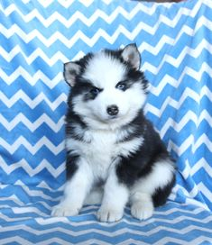 💜💜#PuppyLove What a #beautifullittlepuppy Paige is! This #Pomsky puppy is an absolute #cutenessoverload! She is getting lots of #TLC and #dailysnuggles. #Charming #PinterestPuppies #PuppiesOfPinterest #Puppy #Puppies #Pups #Pup #Funloving #Sweet #PuppyLove #Cute #Cuddly #Adorable #ForTheLoveOfADog #MansBestFriend #Animals #Dog #Pet #Pets #ChildrenFriendly #PuppyandChildren #ChildandPuppy #BuckeyePuppies www.BuckeyePuppies.com Dog Love, Puppy Love, Pomsky Puppies For Sale, Lancaster Puppies, Animals Dog, Little Puppies, Mans Best Friend, Snuggles, Pets
