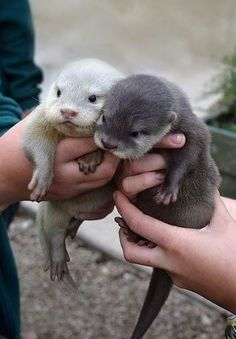 oh just some baby otters. ......... my heart just exploded