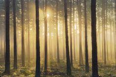 photowall.com  - Pine Tree Morning