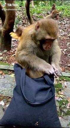 Opening the bag to take bananas! #tshirtprinting/#tshirtshop/#tshirtslovers/#tshirtoftheday #tshirtsonline/#tshirtprint/#tshirtlife Little Monkeys, Cute Little Animals, Cute Funny Animals, Funny Animal Quotes, Funny Animal Videos, Cute Gif, Funny Cute, Beautiful Creatures, Animals Beautiful
