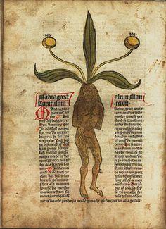Medieval manuscript about mandrake root