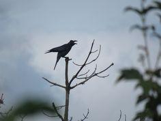 カラス. crow. 26 September 2016.