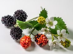 Brombeeren aus Blütenpaste, Blätter, Blüten / Gumpaste Blackberries Tutorial (English subtitles!) - YouTube