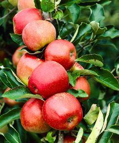 Malus domestica - The 'Jonagored' apple |