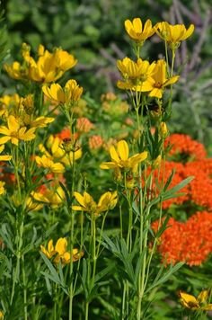 prairie coreopsis coreposis palmata. full sun to partial sun, medium to dry soil, 2'