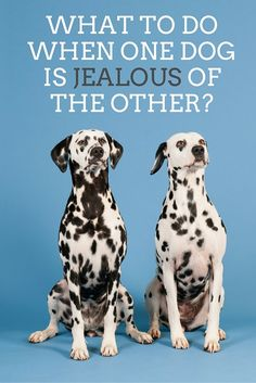 What to do if one dog is jealous of the other?