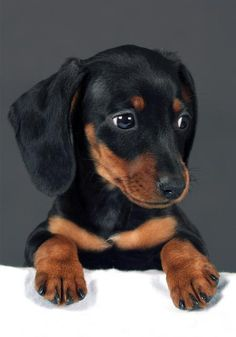 Black and Tan Dachshund 😍 - Hunde - Puppies Weenie Dogs, Dachshund Puppies, Dachshund Love, Cute Puppies, Cute Dogs, Dogs And Puppies, Daschund, Doggies, Dachshund Quotes