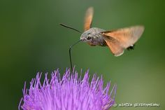 Hummingbird hawk-moth at flower - Stock Photo , Hawk Moth, Birds In Flight, Hummingbird, Royalty, Stock Photos, Illustration, Photographers, Flowers, Animals