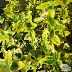 Buy Euonymus fortunei Emerald 'n' Gold (Evergreen Bittersweet) online from Jacksons Nurseries Nurseries, About Uk, Evergreen, Emerald, Herbs, Gardening, Gold, Stuff To Buy, Babies Rooms