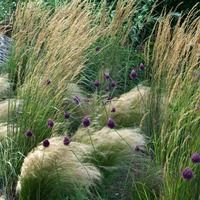 A very interesting border idea for sunny spots of the landscape. Easy to grow and low maintenance, all plants are drought tolerant, deer and rabbit resistant and virtually pest and disease free. Low Maintenance Backyard, Low Maintenance Garden Design, Allium Sphaerocephalon, Verticle Garden, Mexican Feather Grass, Stipa, Prairie Garden, Deer Resistant Plants, Garden Shrubs